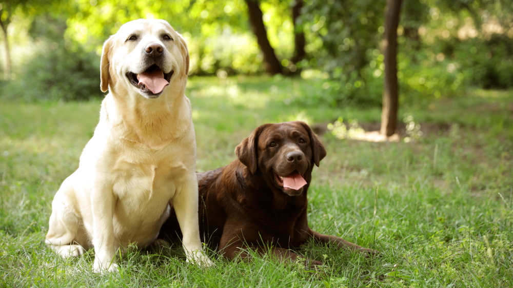 Cute Labrador Retriever dogs